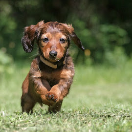 little dachshund by Miroslav Socha - Animals - Dogs Puppies