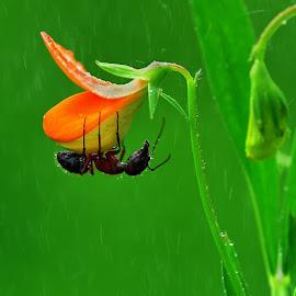 karıncağmur#ıslanmaköcek by Mustafa Öztürk - Animals Insects & Spiders ( Rain, ant, ya, macro, insect, b )