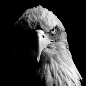 Split Eagle by Kain Dear - Animals Birds ( eagle, lighting, bill, beak, bald, split, feathers, mono, eye, eyes )