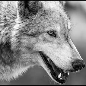 Grey Wolf by Dave Lipchen - Black & White Animals ( grey wolf )