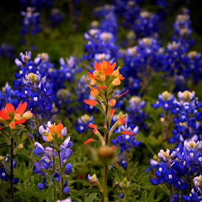 Blue and red wildfowers by Brenda Shoemake - Flowers Flowers in the Wild