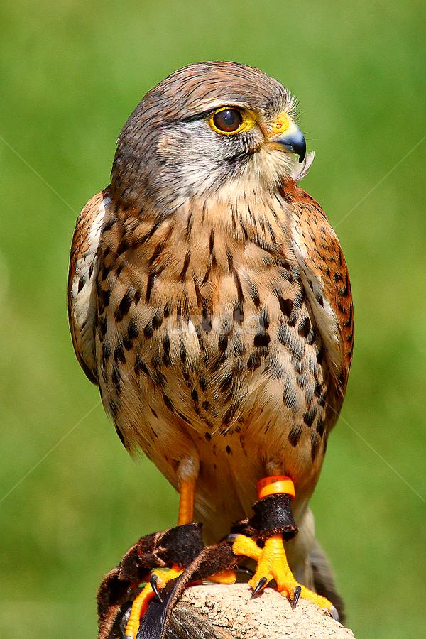 Faucon crecerelle au piquet by Gérard CHATENET - Animals Birds