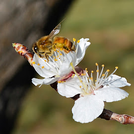 Spring blossoms by Denton Thaves - Animals Insects & Spiders ( spring flowers )