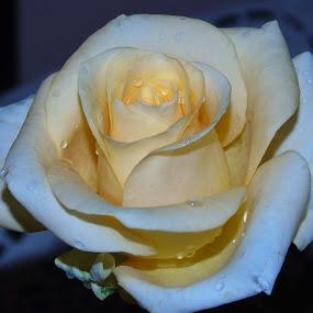 IN RAIN DROPS by Wojtylak Maria - Flowers Single Flower ( rose, april, raindrops, creamy, flower )