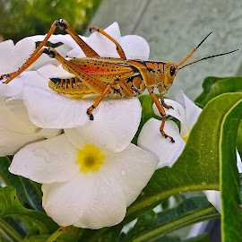 { My Dinner Guest's }  by Jeffrey Lee - Animals Insects & Spiders ( rain bow grass hoppers and white hawaiian flowers,  )