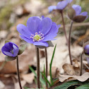 Common Hepatica, liverwort, kidneywort, pennywort