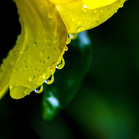 Yellow Tri-drops by Ynon Francisco - Nature Up Close Natural Waterdrops ( water, colors, dew, flower, petal )