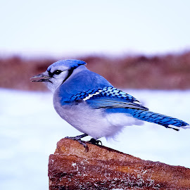 Winter Blue-Jay by Sue Delia - Animals Birds ( bird, blue-jay, winter, snow, bluejay,  )