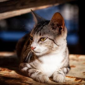 Melancholy by Plamen Mirchev - Animals - Cats Portraits ( close up, color, cat, animal, animals, portrait,  )