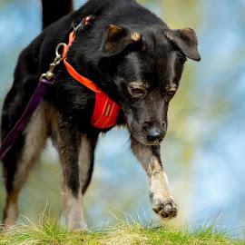 Dreamy dog by Jenny Trigg - Animals - Dogs Running ( akita, husky, german shepherd, dog, running )