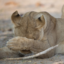 Camera shy by Paul Fine - Animals Lions, Tigers & Big Cats ( botswana, lioness, safari, endangered, comical, africa )