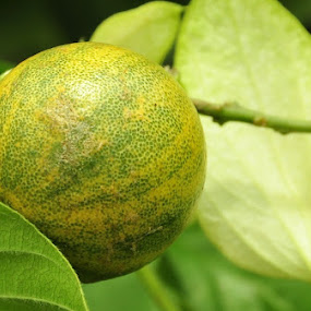 Lemon by Syarief Wiranegara - Nature Up Close Gardens & Produce