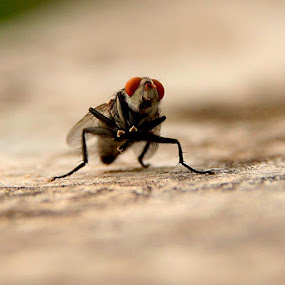 House Fly,20.07.2013, Kollam, Kerala. by Nithya Purushothaman - Animals Insects & Spiders