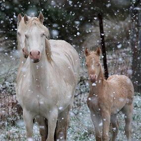 Snow Ponies by Glenys Lilley - Animals Horses ( animals, pony, horses, ponies, snow, horse, foal,  )