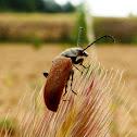 Beetle. Escarabajo