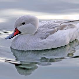 by Susan Burger - Animals Other ( water, nature, pixoto, duck, white )