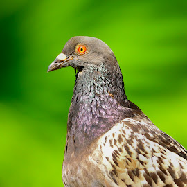 Pigeon in park by Francois Wolfaardt - Animals Birds ( contrast, bird, pigeon, green, close up, colours )