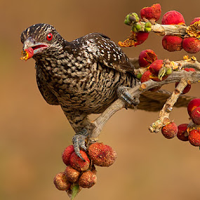 Asian Koel by Jineesh Mallishery - Animals Birds ( bird, jineesh, wildlife, asian koel, koel )