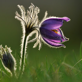 Pasque flower by Frode Wendelbo - Flowers Flowers in the Wild ( pasque flower, spring flowers, sweden, anemone, flowers )