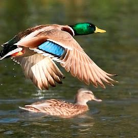00 Duck 99840~ 1Q by Raphael RaCcoon - Animals Birds