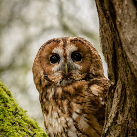 Tawny Owl by Andrew Moore - Animals Birds (  )
