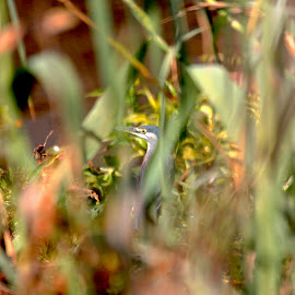 An obscure Heron? by Christo W. Meyer - Novices Only Wildlife ( geenback heron, heron, obscured view, birding )