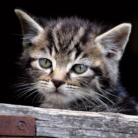 Oskar by Sabine Leifels - Animals - Cats Kittens ( kitten, cat, tomcat, cute, portrait )