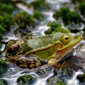 Frog by Jakub Juszyński - Animals Amphibians ( water, frog, green, eyes, polish )