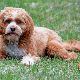 by Steven Liffmann - Animals - Dogs Portraits ( ball, grass, lying down, play, puppy, cavapoo, dog, portrait )