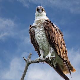 Osprey on a dead tree branch by Sandy Scott - Animals Birds ( birds of prey, seahawk, birds, raptors, osprey )