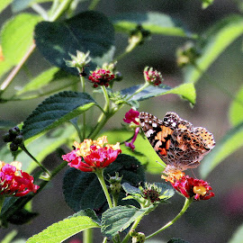 Painted Lady by Brenda Redford - Novices Only Wildlife ( butterfly, painted lady, butterfly close up, butterfly image, lantana )