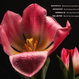 Zen Tulip by Dave Walters - Typography Quotes & Sentences ( clors, nature, tulip, zen, flowers, mythical )