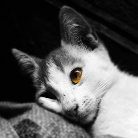 Insight by Sautrik Dutta Mantrani - Animals - Cats Portraits