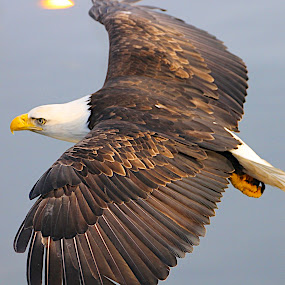 Back view by Capt Jack - Animals Birds ( amazing, fishing alaska, flight, wow, eagle, alaska, raptor, bering sea, bald eagles, birds, patriot, Bird in flight, bif )