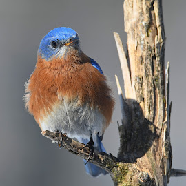 Eastern Bluebird by Steven Liffmann - Animals Birds ( bluebird )