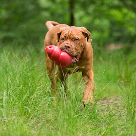 Mason by Jenny Trigg - Animals - Dogs Puppies ( playing, puppies, grass, dogue de bordeaux, puppy, dog )