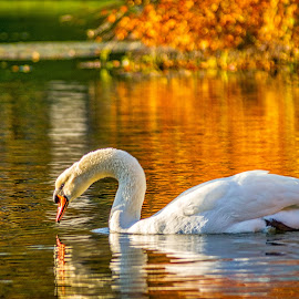 Spring Grove Swan by Pat Lasley - Animals Birds ( water, bird, swan, lake )