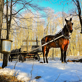 by Brooks Travis - Animals Horses ( maple tree, horse, wagon, trees, maple syrup, sap bucket )