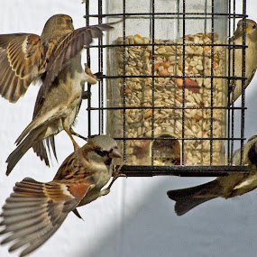Feeding Frenzy by Nancy Sadowski - Animals Birds ( flight, sparrows, bird seed, feeding, group, birds )