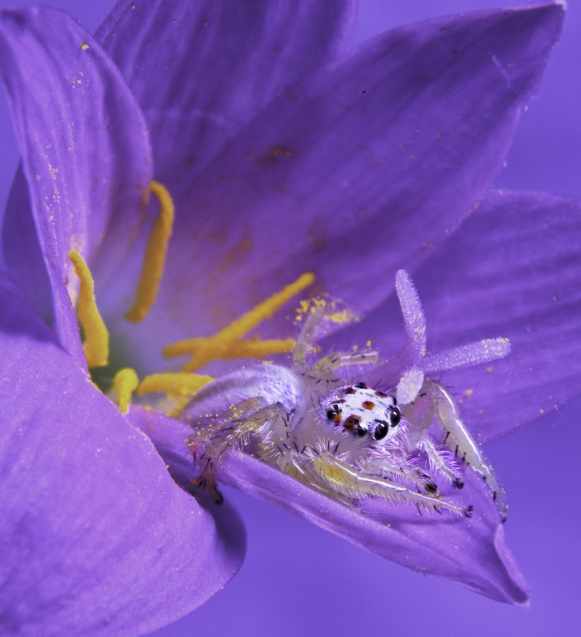 Flower Spider by Jun Santos - Animals Insects & Spiders ( macro, nature, spider, insect, animal )