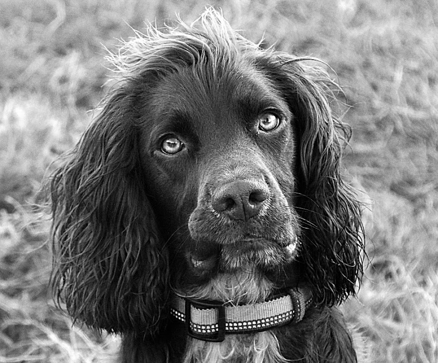 Henry in B&W by Chrissie Barrow - Black & White Animals ( monochrome, black and white, cocker spaniel, pet, dog, mono, portrait, animal )