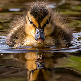 Duckling on the Move by Monica Hall - Animals Birds ( wisconsin, reflection, water fowl, duckling, duck )