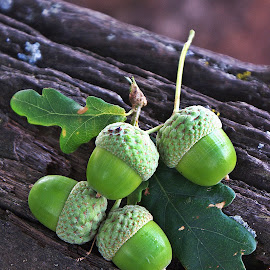 Green acorns by Hennie Wolmarans - Nature Up Close Other Natural Objects ( tree, nature, green, oak tree, acorns )