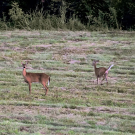 Delightful Surprise . by Jim Dawson - Novices Only Wildlife ( #deer #wildlife #doe #kentucky #summer )
