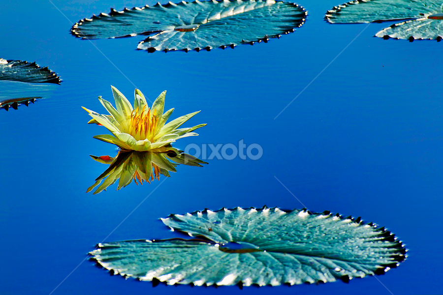 Reflection by Charliemagne Unggay - Nature Up Close Flowers - 2011-2013 ( reflection, lily, nature, blue, flower )