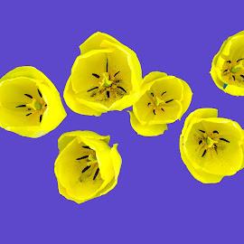 Yellow tulips on blue by Paul Pecora - Digital Art Things ( yellow tulips, from above, digital art, flowers, springtime )