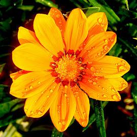 Yellow gazania by Gérard CHATENET - Flowers Flowers in the Wild