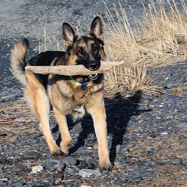 Fetch The Stick by Patricia Phillips - Animals - Dogs Playing ( dogs playing german shepherds )