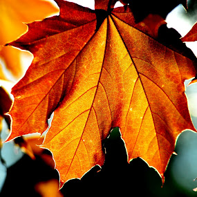LATE AUTUMN by Steve Cooper - Nature Up Close Leaves & Grasses ( colour, leaves, light, sun, maple )