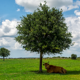 Cow in the shade. by Joe Saladino - Landscapes Prairies, Meadows & Fields ( farm, ranch, florida, cow, landscape,  )